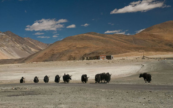 Yaks are used by the Changpas as packing animals and as sources of milk, hide and meat